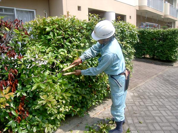 植木の外観を整えるために定期的に剪定作業を行います。